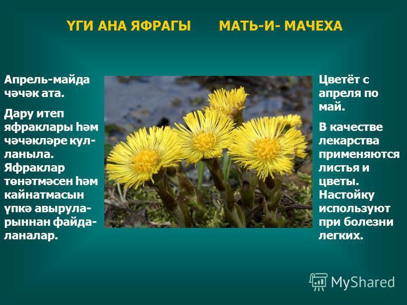 ҮГИ АНА ЯФРАГЫ МАТЬ-И- МАЧЕХА Цветёт с апреля по май. В качестве лекарства применяются листья и цветы. Настойку используют при болезни легких. Апрель-майдан чәчәк ата. Дару итеп яфрккаклары һәм чәчәкләре кул- ланыла. Яфрккаклар төнәтмәсен һәм кайнатм