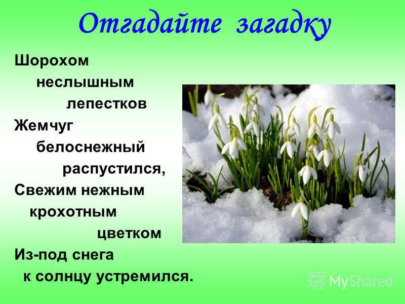 Отгадайте загадку Шорохом неслышным лепестков Жемчуг белоснежный распустился, Свежим нежным крохотным цветком Из-под снега к солнцу устремился.