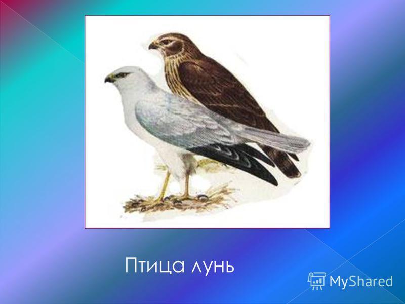 Птица лунь