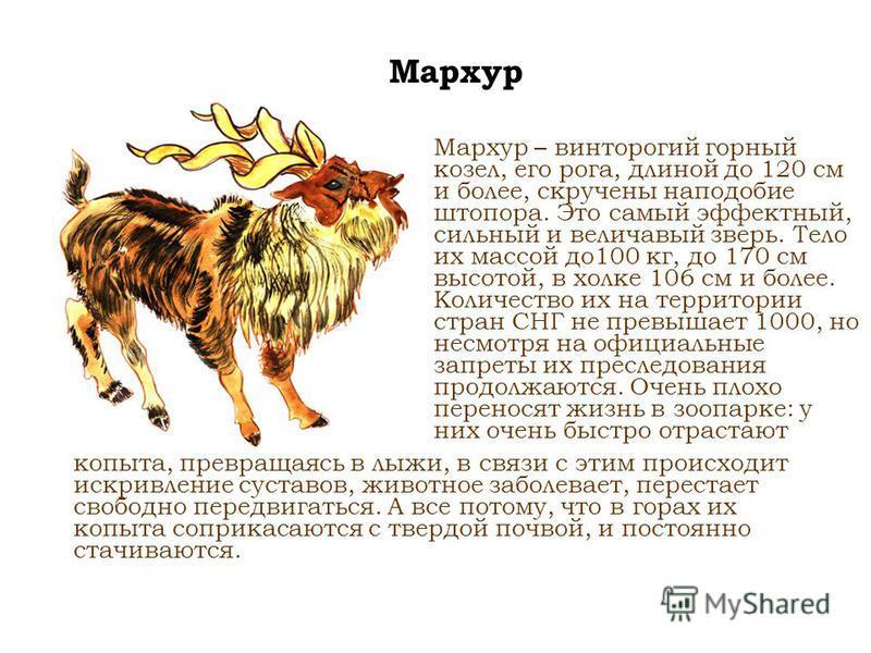 Мархур Мархур – винторогий горный козел, его рога, длиной до 120 см и более, скручены наподобие штопора. Это самый эффектный, сильный и величавый зверь. Тело их массой до 100 кг, до 170 см высотой, в холке 106 см и более. Количество их на территории