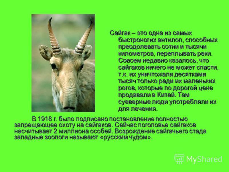 Сайгак – это одна из самых быстроногих антилоп, способных преодолевать сотни и тысячи километров, переплывать реки. Совсем недавно казалось, что сайгаков ничего не может спасти, т.к. их уничтожали десятками тысяч только ради их маленьких рогов, котор