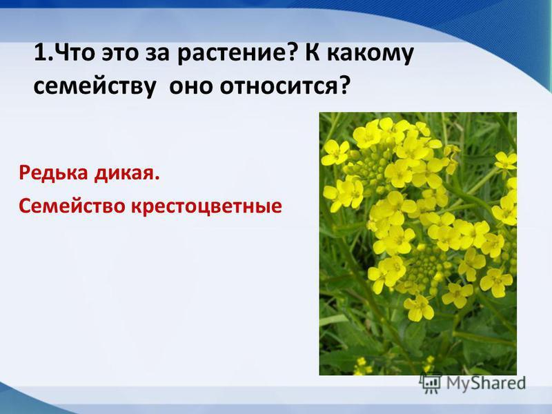 1. Что это за растение? К какому семейству оно относится? Редька дикая. Семейство крестоцветные
