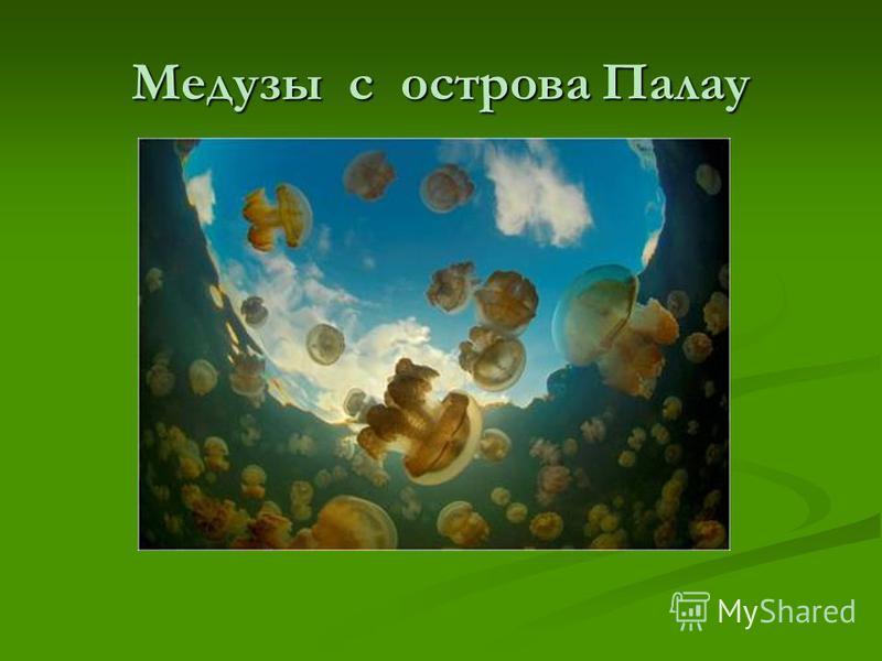 Медузы с острова Палау