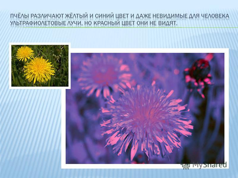 Однако, чтобы получить такое преимущество, глазу пчелы пришлось пожертвовать резкостью изображения, так как она зависит от диаметра отверстия, через которое свет входит в эту систему. Поэтому пчёлы не отличаются остротой зрения.
