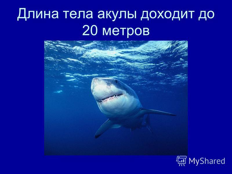 Длина тела акулы доходит до 20 метров