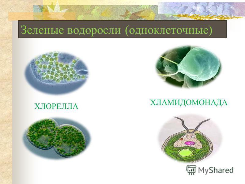 Зеленые водоросли (одноклеточные) ХЛОРЕЛЛА ХЛАМИДОМОНАДА