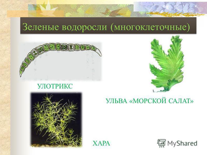 Зеленые водоросли (многоклеточные) УЛОТРИКС УЛЬВА «МОРСКОЙ САЛАТ» ХАРА