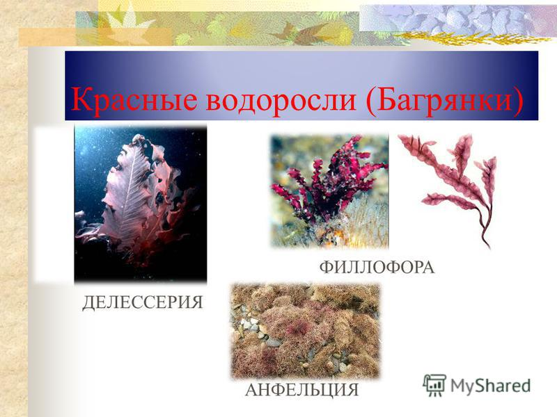 Красные водоросли (Багрянки) ДЕЛЕССЕРИЯ ФИЛЛОФОРА АНФЕЛЬЦИЯ