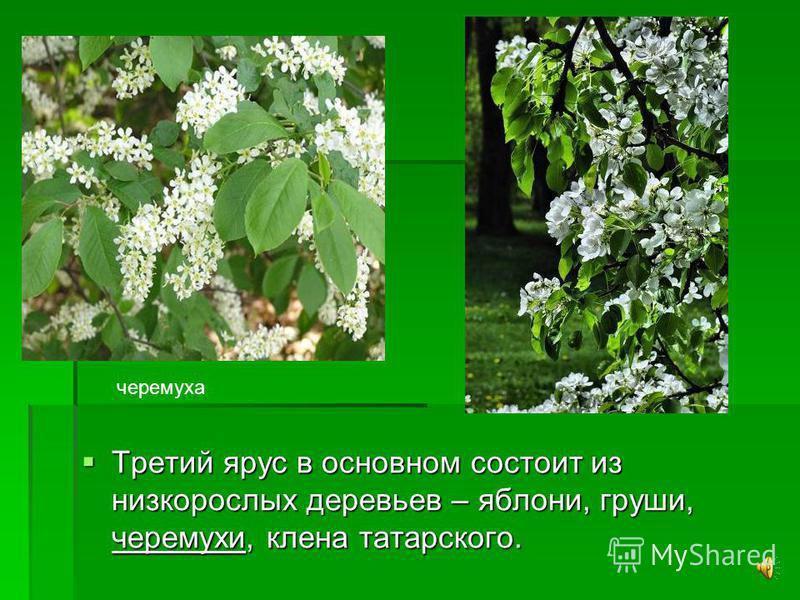 Во втором ярусе растут клен остролистный, осина, вяз. Во втором ярусе растут клен остролистный, осина, вяз.