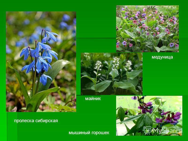 Весной сразу после стаивания снега, когда еще много света в лесу, появляются раннецветущие растения. Весной сразу после стаивания снега, когда еще много света в лесу, появляются раннецветущие растения.