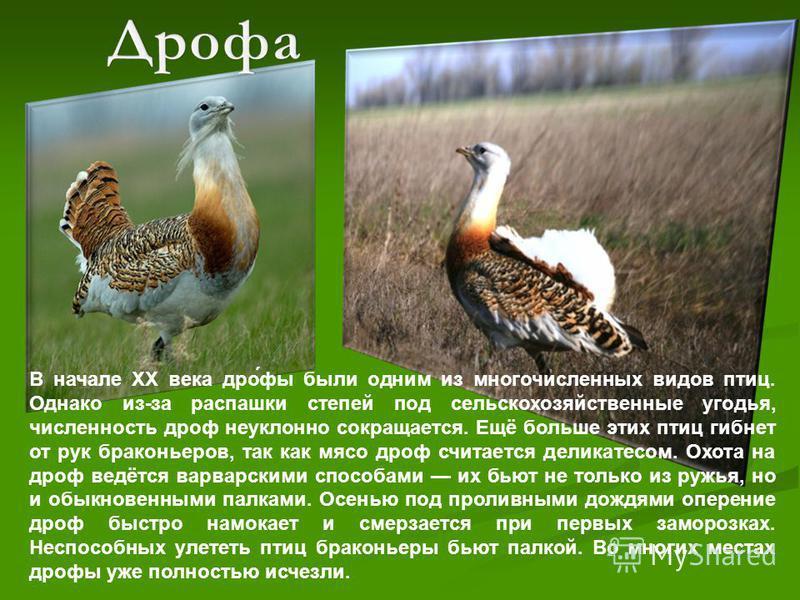 В начале XX века дрю́вы были одним из многочисленных видов птиц. Однако из-за распашки степей под сельскохозяйственные угодья, численность дрюф неуклонно сокращается. Ещё больше этих птиц гибнет от рук браконьеров, так как мясо дрюф считается деликат