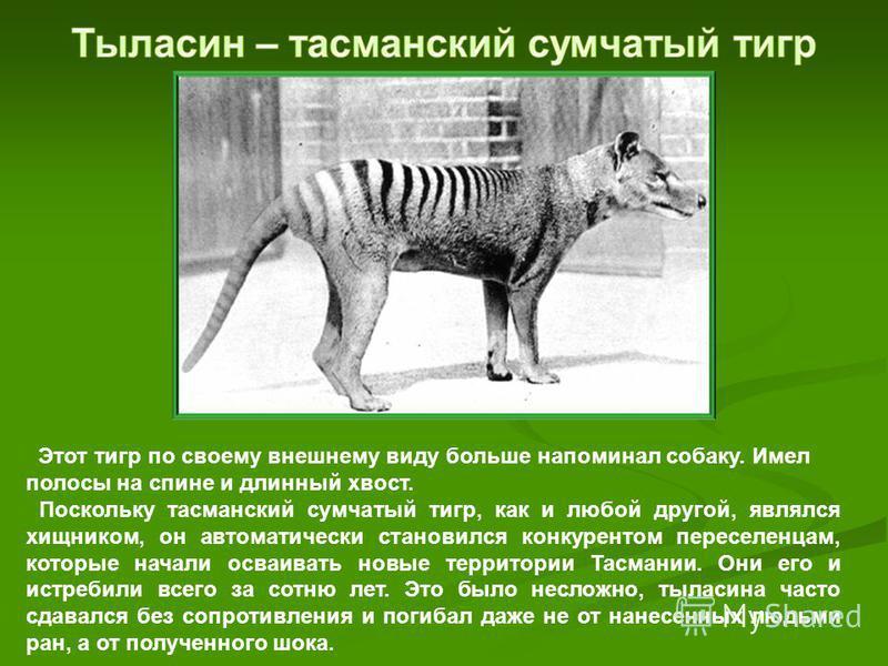 Этот тигр по своему внешнему виду больше напоминал собаку. Имел полосы на спине и длинный хвост. Поскольку тасманский сумчатый тигр, как и любой другой, являлся хищником, он автоматически становился конкурентом переселенцам, которые начали осваивать