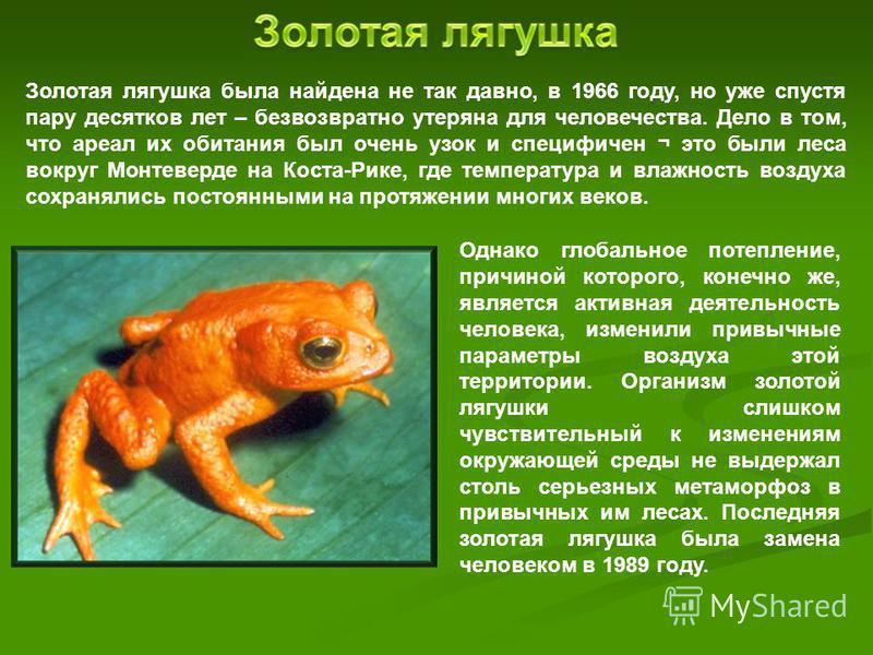 Золотая лягушка была найдена не так давно, в 1966 году, но уже спустя пару десятков лет – безвозвратно утеряна для человечества. Дело в том, что ареал их обитания был очень узок и специфичен ¬ это были леса вокруг Монтеверде на Коста-Рике, где темпер