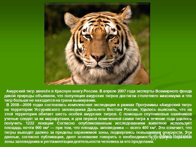 Амурский тигр занесён в Красную книгу России. В апреле 2007 года эксперты Всемирного фонда дикой природы объявили, что популяция амурских тигров достигла столетнего максимума и что тигр больше не находится на грани вымирания. В 20082009 годах состоял
