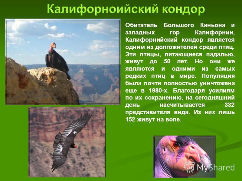 Обитатель Большого Каньона и западных гор Калифорнии, Калифорнийский кондор является одним из долгожителей среди птиц. Эти птицы, питающиеся падалью, живут до 50 лет. Но они же являются и одними из самых редких птиц в мире. Популяция была почти полно