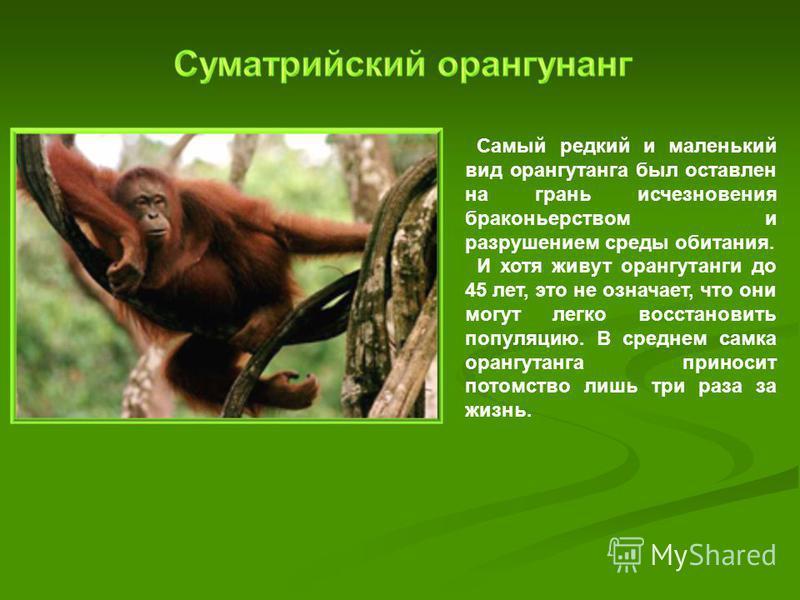 Самый редкий и маленький вид орангутанга был оставлен на грань исчезновения браконьерством и разрушением среды обитания. И хотя живут орангутанги до 45 лет, это не означает, что они могут легко восстановить популяцию. В среднем самка орангутанга прин