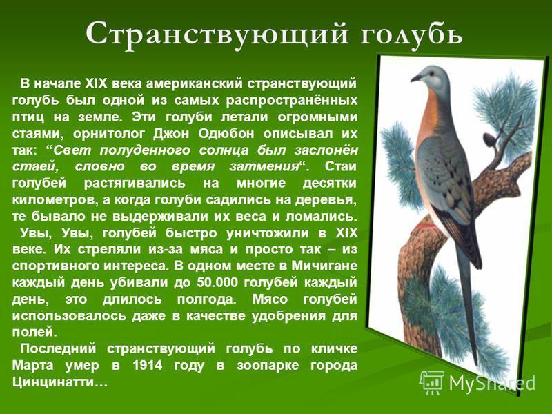 В начале XIX века американский странствующий голубь был одной из самых распространённых птиц на земле. Эти голуби летали огромными стаями, орнитолог Джон Одюбон описывал их так: Свет полуденного солнца был заслонён стаей, словно во время затмения. Ст