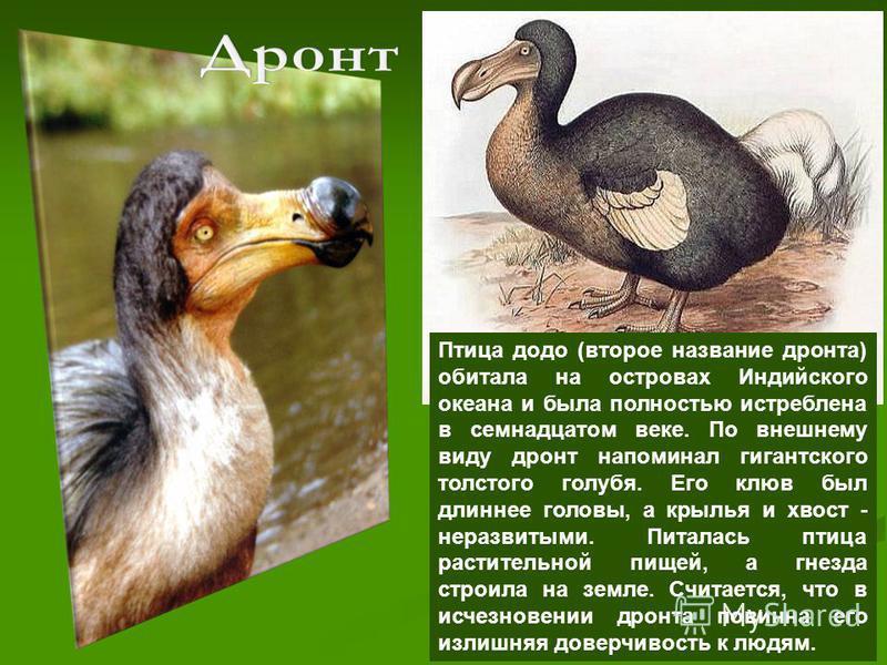 Птица додо (второе название дрюнта) обитала на островах Индийского океана и была полностью истреблена в семнадцатом веке. По внешнему виду дрюнт напоминал гигантского толстого голубя. Его клюв был длиннее головы, а крылья и хвост - неразвитыми. Питал