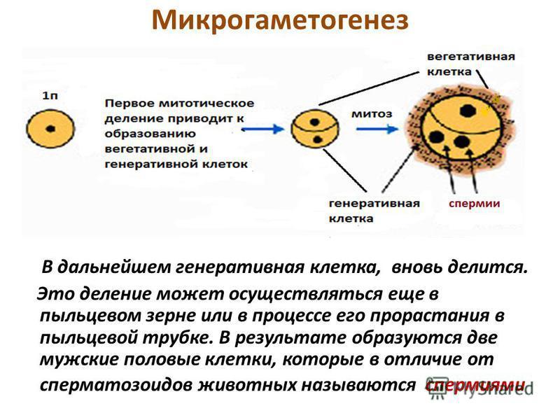 Микрогаметогенез В дальнейшем генеративная клетка, вновь делится. Это деление может осуществляться еще в пыльцевом зерне или в процессе его прорастания в пыльцевой трубке. В результате образуются две мужские половые клетки, которые в отличие от сперм