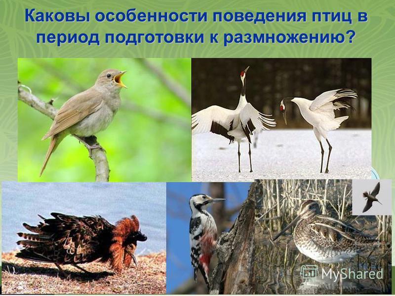Каковы особенности поведения птиц в период подготовки к размножению? Барабанная дробь Пение самцов Турнирные соревнования самцов Токовые полеты Брачные танцы Особенности поведения