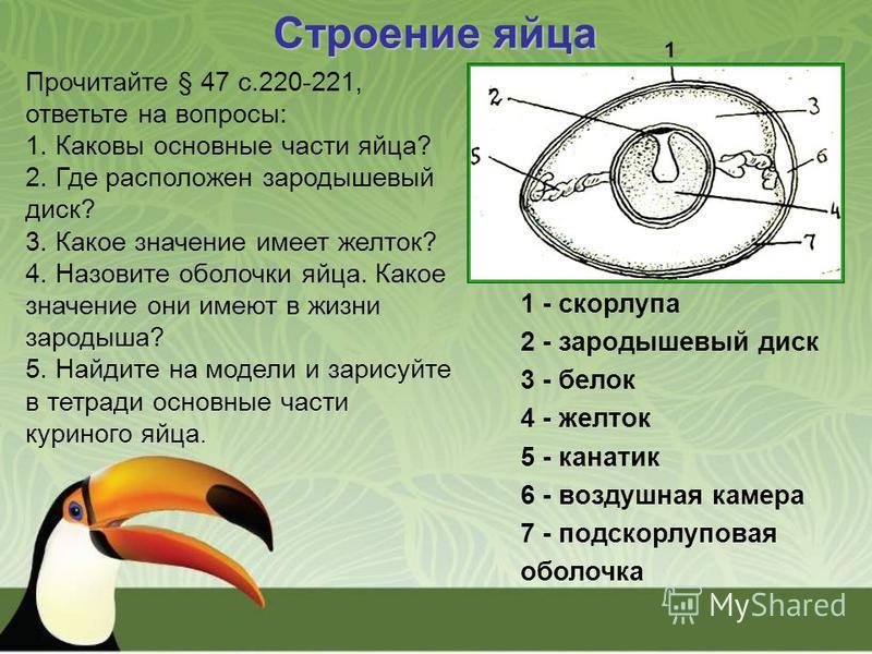Строение яйца 1 - скорлупа 2 - зародышевый диск 3 - белок 4 - желток 5 - канатик 6 - воздушная камера 7 - подскорлуповая оболочка Прочитайте § 47 с.220-221, ответьте на вопросы: 1. Каковы основные части яйца? 2. Где расположен зародышевый диск? 3. Ка