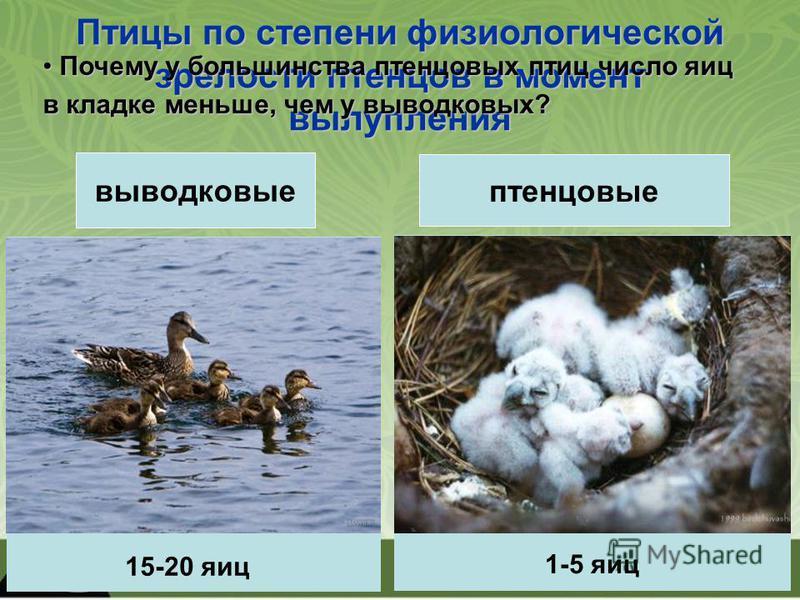 Птицы по степени физиологической зрелости птенцов в момент вылупления выводковые Птенцы покрыты пухом, зрячие, могут передвигаться, самостоятельно находят корм. Но в первое время они нуждаются в обогреве и защите от врагов. Тетерев, утки, гуси, лебед