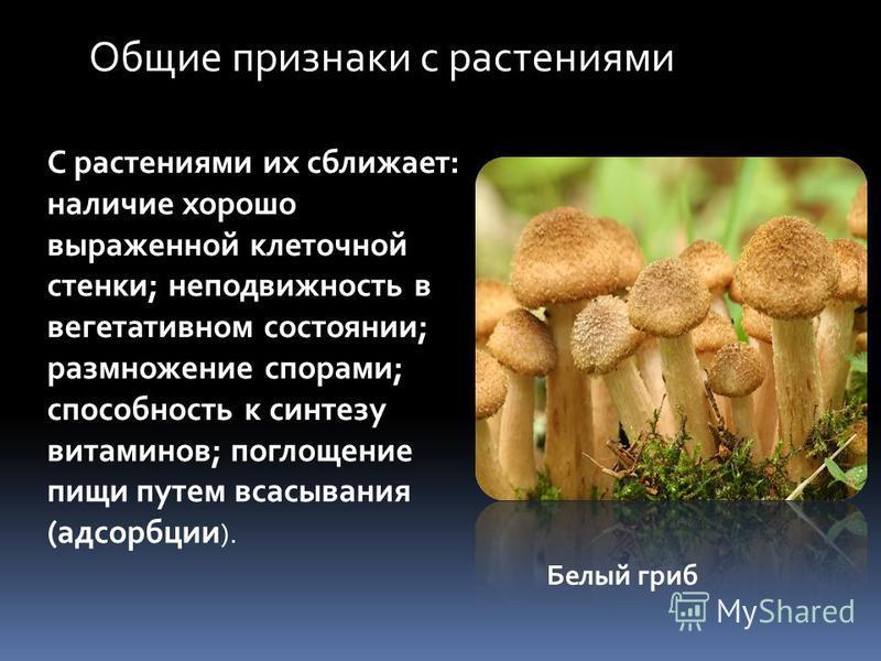 Общие признаки с растениями С растениями их сближает: наличие хорошо выраженной клеточной стенки; неподвижность в вегетативном состоянии; размножение спорами; способность к синтезу витаминов; поглощение пищи путем всасывания (адсорбции ). Белый гриб