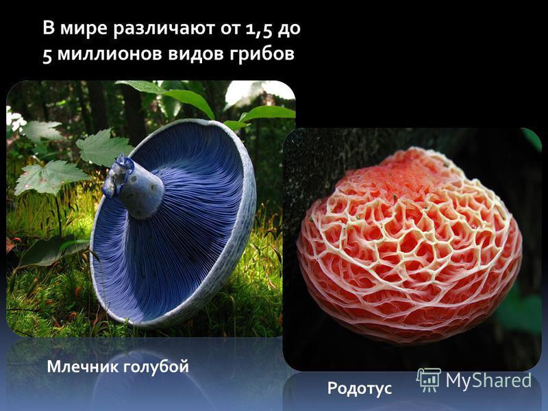 В мире различают от 1,5 до 5 миллионов видов грибов Млечник голубой Родотус