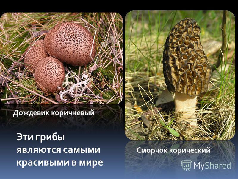 Дождевик коричневый Сморчок конический Эти грибы являются самыми красивыми в мире