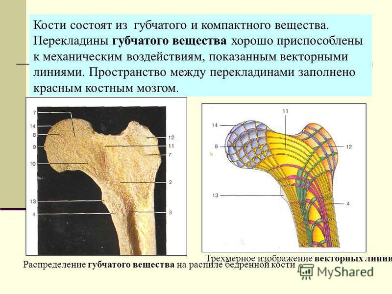Распределение губчатого вещества на распиле бедренной кости Трехмерное изображение векторных линии головки и шейки бедренной кости (по Б. Куммер) Кости состоят из губчатого и компактного вещества. Перекладины губчатого вещества хорошо приспособлены к