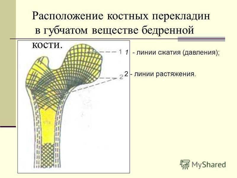 1 - линии сжатия (давления); 2 - линии растяжения. Расположение костных перекладин в губчатом веществе бедренной кости.