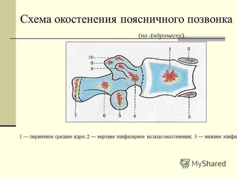 1 первичное среднее ядро; 2 верхнее эпифизарное кольцо окостенения; 3 нижнее эпифизарное кольцо; 4 первичное переднелатеральное и поперечное ядра окостенения; 5 вторичное нижнесуставное ядро; 6 первичное заднелатеральное ядро; 7 вторичное ядро окосте