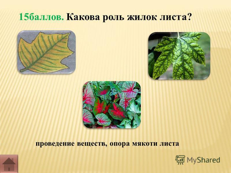 15 баллов. Какова роль жилок листа? проведение веществ, опора мякоти листа
