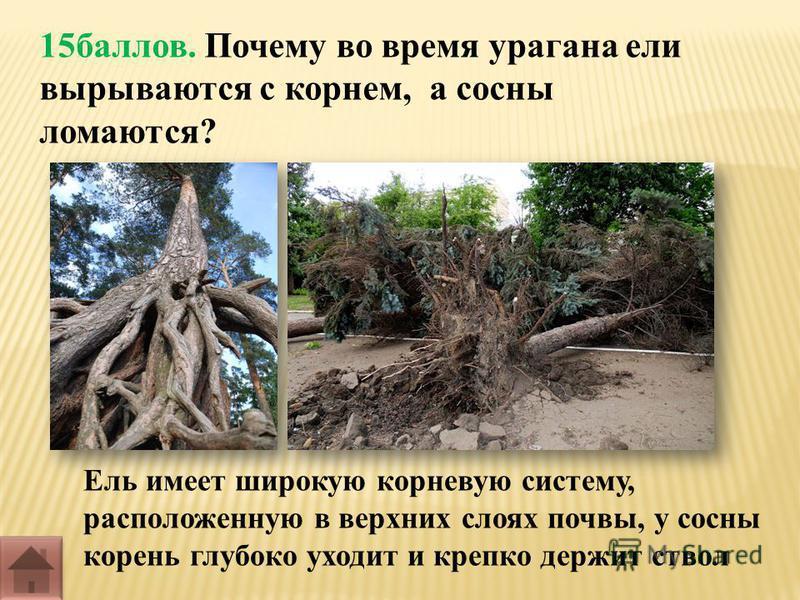 15 баллов. Почему во время урагана ели вырываются с корнем, а сосны ломаются? Ель имеет широкую корневую систему, расположенную в верхних слоях почвы, у сосны корень глубоко уходит и крепко держит ствол