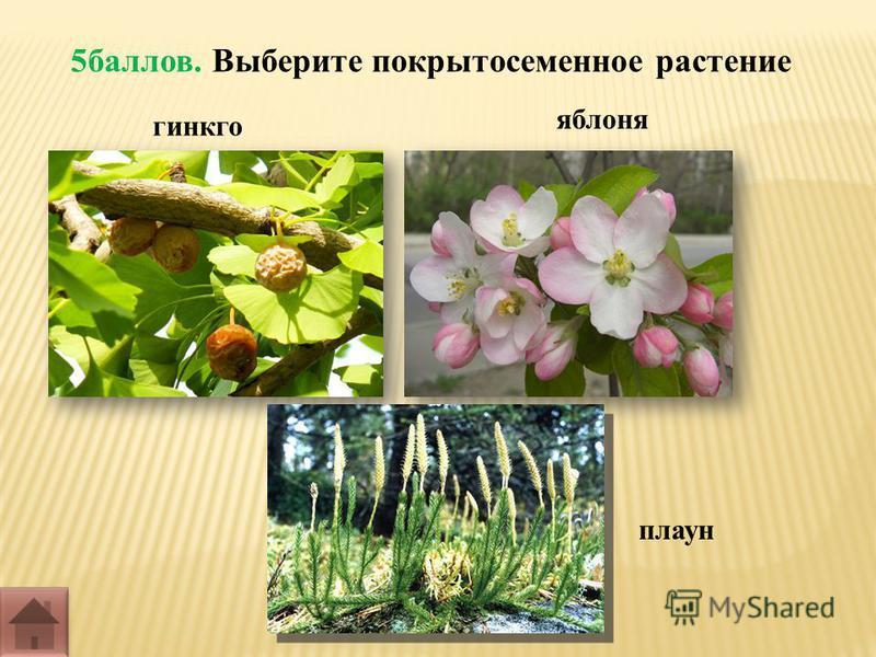 5 баллов. Выберите покрытосеменное растение гинкго плаун яблоня