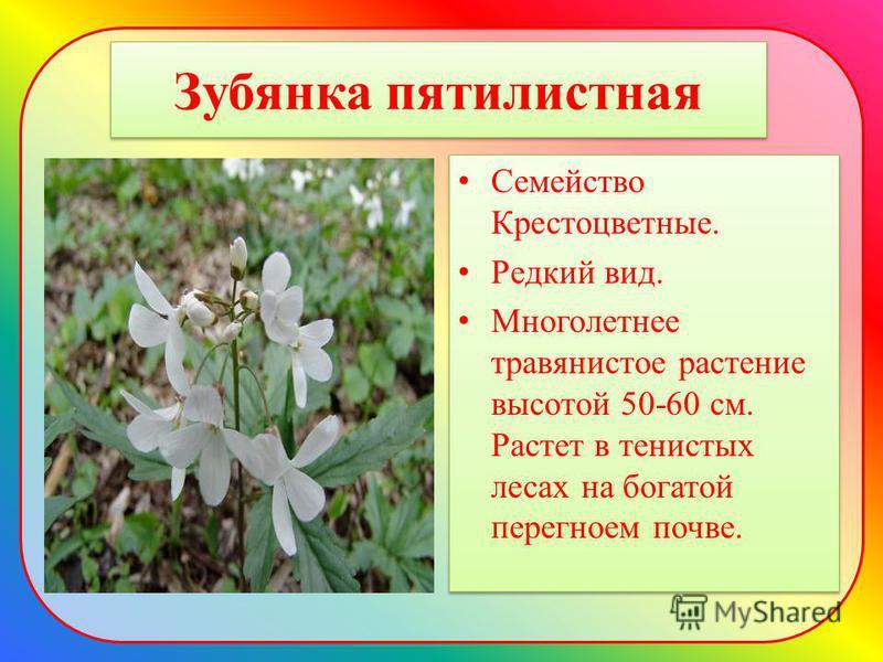 Зубянка пятилистная Семейство Крестоцветные. Редкий вид. Многолетнее травянистое растение высотой 50-60 см. Растет в тенистых лесах на богатой перегноем почве. Семейство Крестоцветные. Редкий вид. Многолетнее травянистое растение высотой 50-60 см. Ра