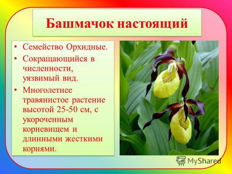 Башмачок настоящий Семейство Орхидные. Сокращающийся в численности, уязвимый вид. Многолетнее травянистое растение высотой 25-50 см, с укороченным корневищем и длинными жесткими корнями. Семейство Орхидные. Сокращающийся в численности, уязвимый вид.