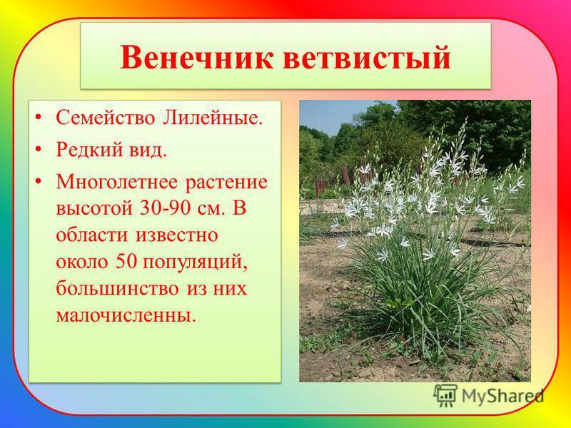 Венечник ветвистый Семейство Лилейные. Редкий вид. Многолетнее растение высотой 30-90 см. В области известно около 50 популяций, большинство из них малочисленны. Семейство Лилейные. Редкий вид. Многолетнее растение высотой 30-90 см. В области известн