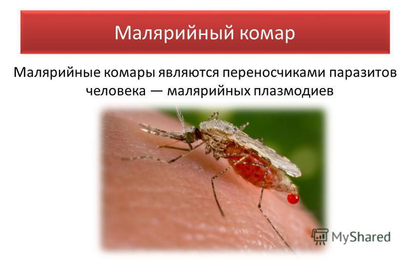 Малярийный комар Малярийные комары являются переносчиками паразитов человека малярийных плазмодиев