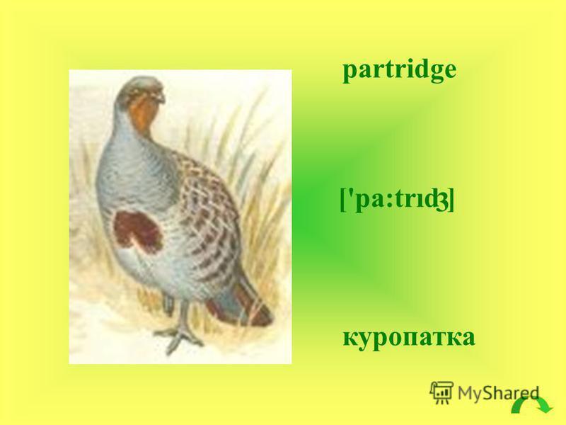 partridge ['pa:trıd ] куропатка 3
