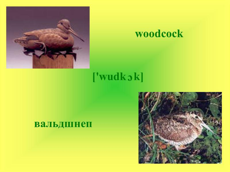 woodcock ['wudk c k] вальдшнеп