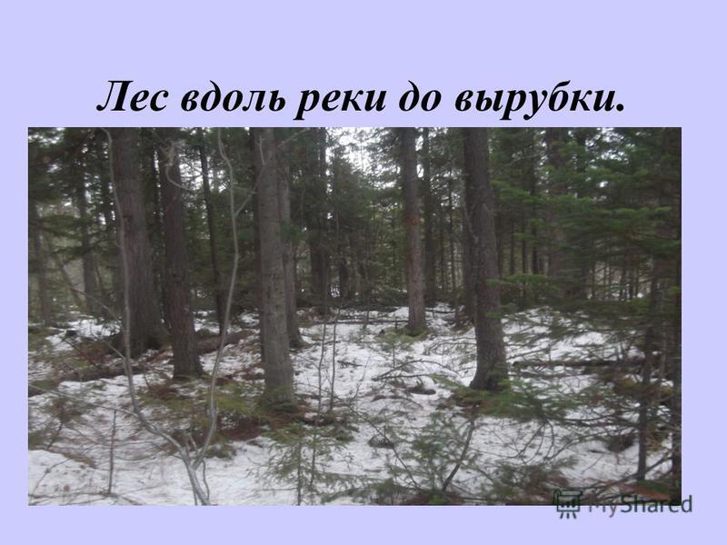 Лес вдоль реки до вырубки.