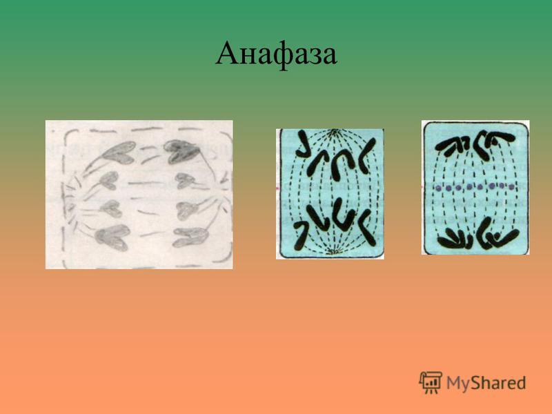 Анафаза