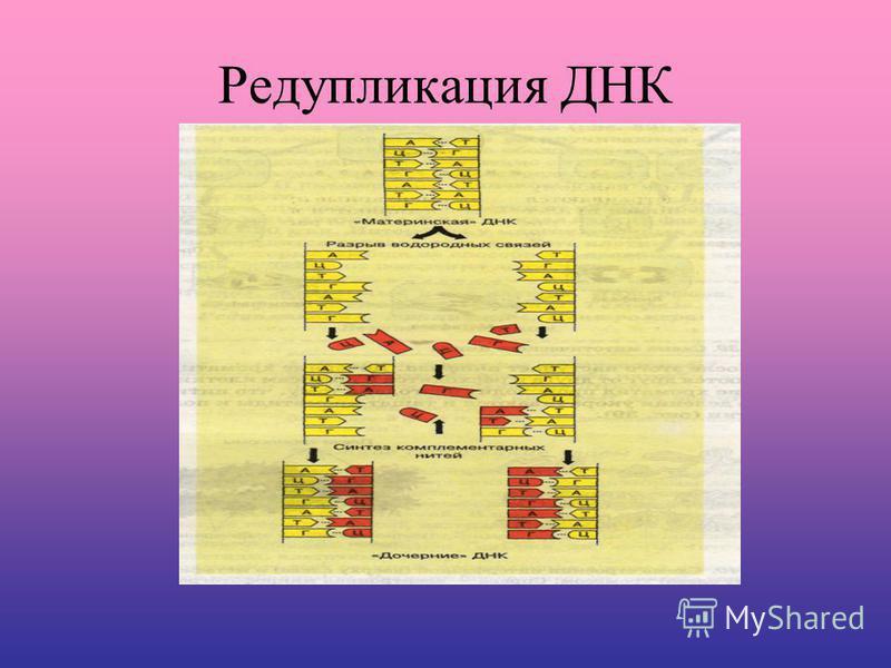 Редупликация ДНК
