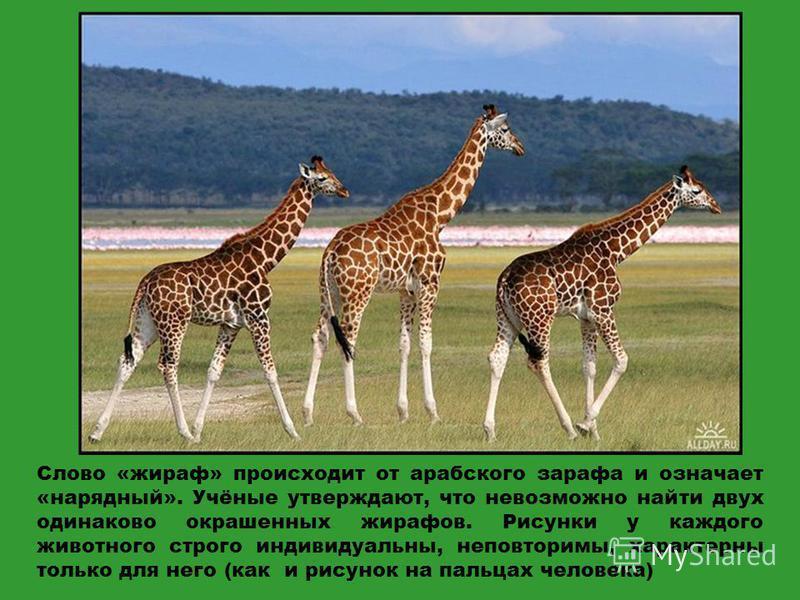 Слово «жираф» происходит от арабского зараза и означает «нарядный». Учёные утверждают, что невозможно найти двух одинаково окрашенных жирафов. Рисунки у каждого животного строго индивидуальны, неповторимы, характерны только для него (как и рисунок на