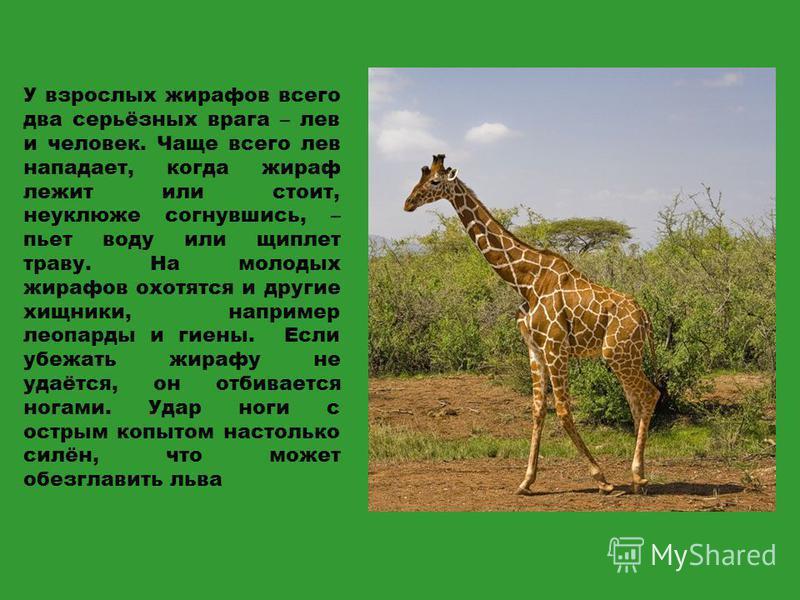 У взрослых жирафов всего два серьёзных врага – лев и человек. Чаще всего лев нападает, когда жираф лежит или стоит, неуклюже согнувшись, – пьет воду или щиплет траву. На молодых жирафов охотятся и другие хищники, например леопарды и гиены. Если убежа