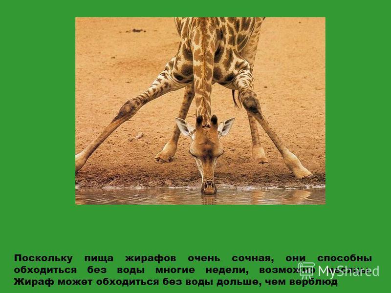 Поскольку пища жирафов очень сочная, они способны обходиться без воды многие недели, возможно месяцы. Жираф может обходиться без воды дольше, чем верблюд