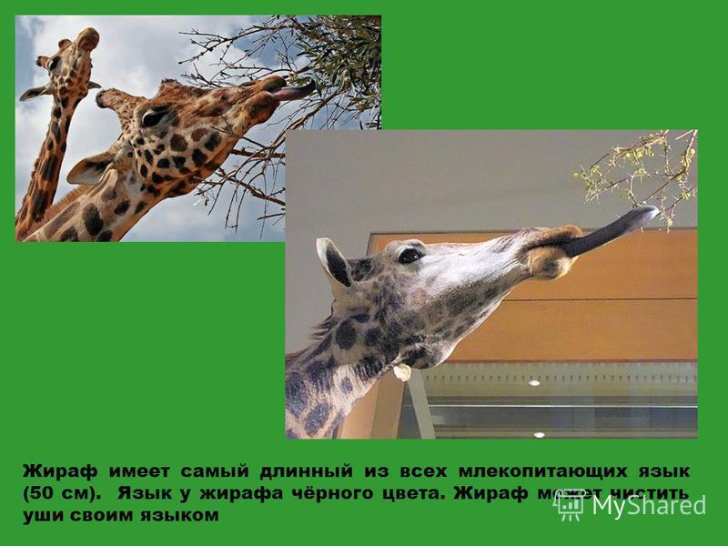 Жираф имеет самый длинный из всех млекопитающих язык (50 см). Язык у жирафа чёрного цвета. Жираф может чистить уши своим языком