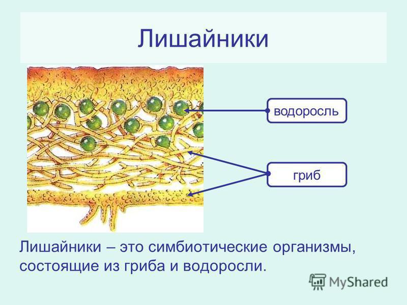 Лишайники Лишайники – это симбиотические организмы, состоящие из гриба и водоросли. водоросль гриб