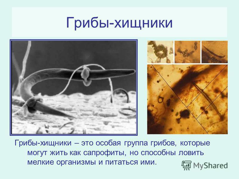 Грибы-хищники Грибы-хищники – это особая группа грибов, которые могут жить как сапрофиты, но способны ловить мелкие организмы и питаться ими.